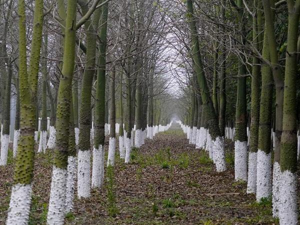 """高清:柳州市这些年种下的""""新春团拜树""""还好吗"""