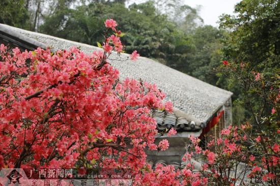 【新春走基層】又見陸川謝魯山莊映山紅
