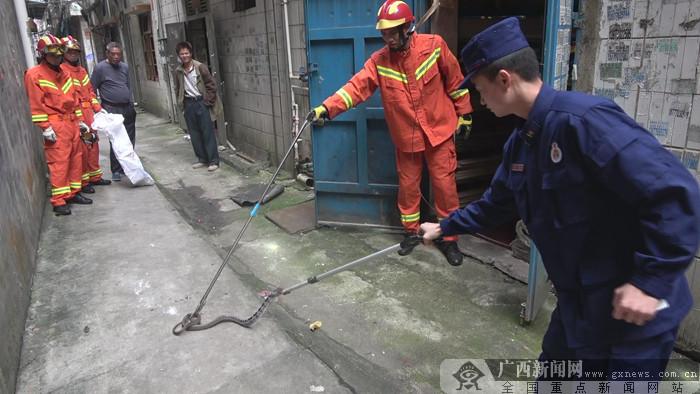 毒蛇出没吓坏店主 消防员成功捕获