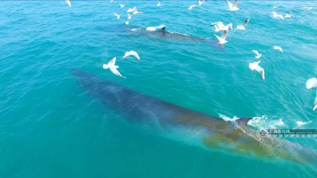 全国唯一沿岸大型鲸群全景视频首发!广西新闻网带你线上观鲸!
