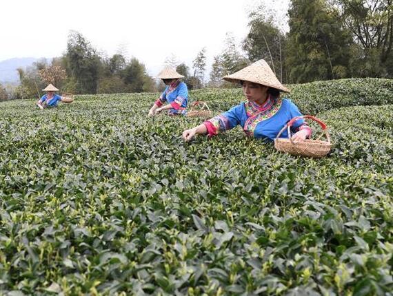 福鼎茶乡迎来白茶开茶季