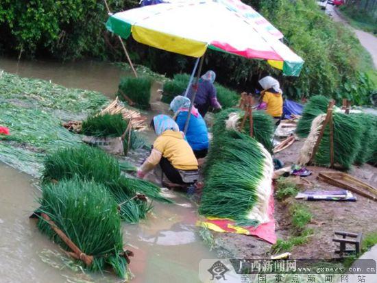 """西乡塘区:香葱成为村民致富""""香饽饽""""(图)"""