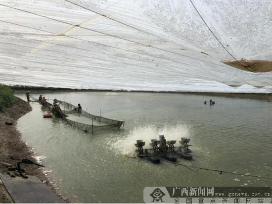 """江南区建区四十周年:健康养殖村民致富""""钱包鼓"""""""