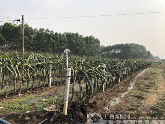 """江南区建区四十周年:火龙果""""种出""""香甜致富路"""