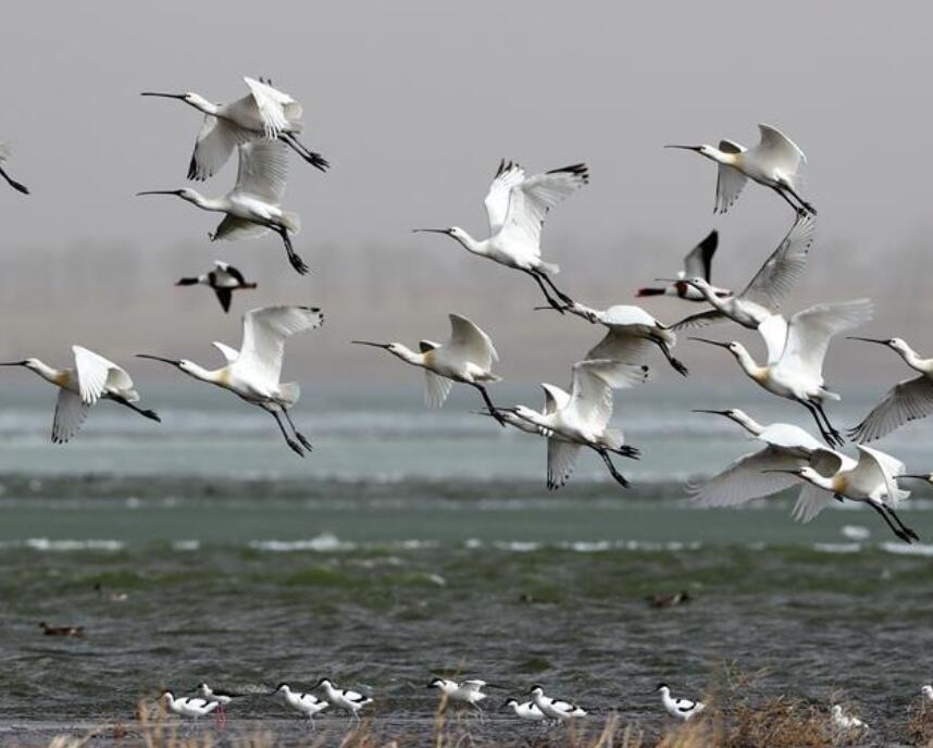 候鸟飞临坝上报春来