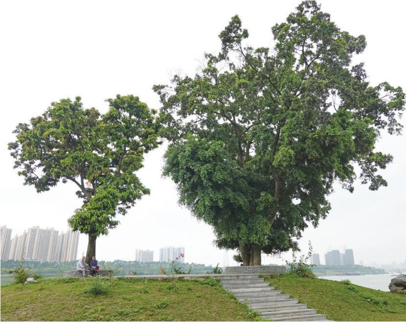步道为古树让路 听建设者讲邕江两岸绿化背后故事