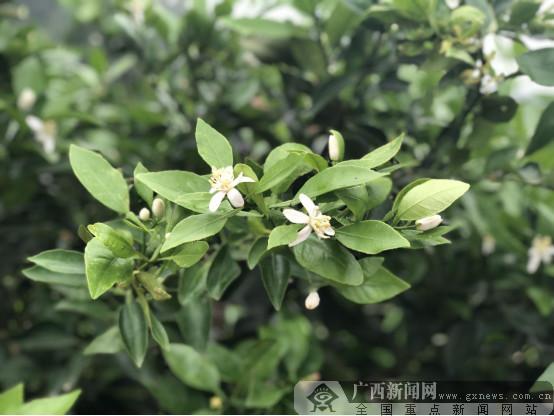 江南区建区四十周年:花开香四溢 沃柑助农致富