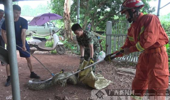 70多斤蟒蛇现民居旁 消防成功捕捉放生(图)