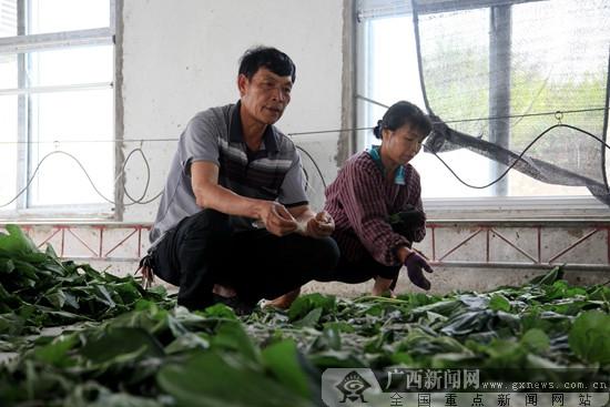 邕宁区:黄永昌奏响合作社脱贫致富曲