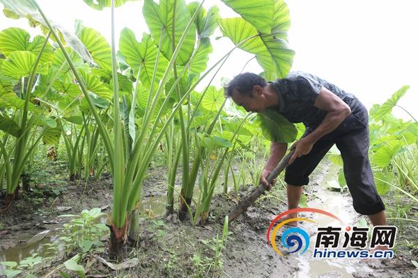 澄迈道南村发展芋头种植产业 助力贫困户脱贫