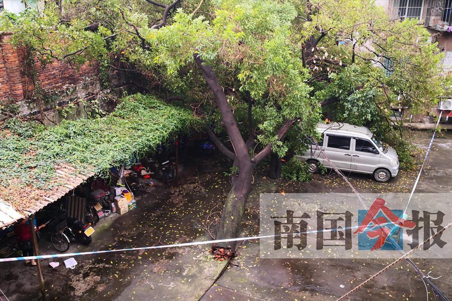 柳州一树龄有30多年的大树雨后倒伏 砸中面包车顶
