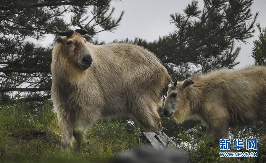 6月26日,秦岭羚牛在悬崖边上行走。新华社记者 陶明 摄   近年来,随着秦岭地区生态环境的改善和动物保护力度的加大,为国家一级保护动物秦岭羚牛的繁衍生息创造了优越的外部条件,其种群数量稳中有增,目前总数超过4000头。