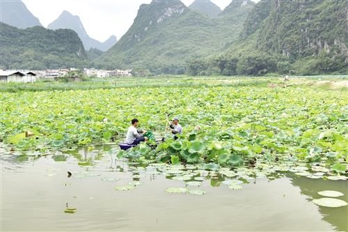 上林县探索新型种养模式壮大特色扶贫产业