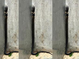 22日焦点图:一眼镜蛇现身南宁南湖公园