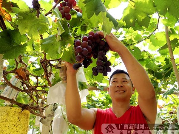 长征精神点亮兴安 葡萄节促农商百尺竿头更进一步