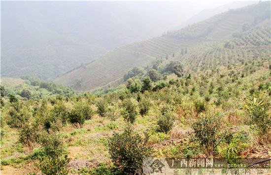 田林县潞城乡旺吉村油茶示范基地.农行百色分行供图