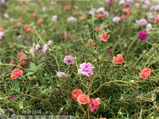 网眼看玉林:五彩田园南药种苗生产中心花果飘香