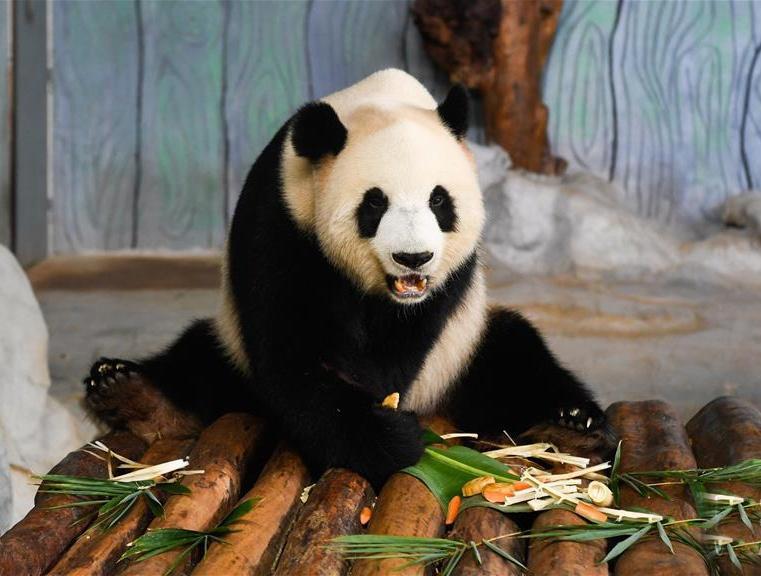海口:大熊猫品月饼过中秋