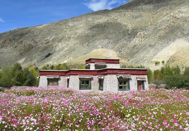 西藏尼木:中秋鲜花艳
