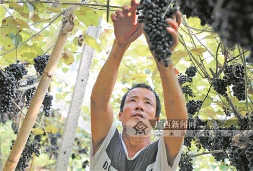 能人带动 葡萄丰收