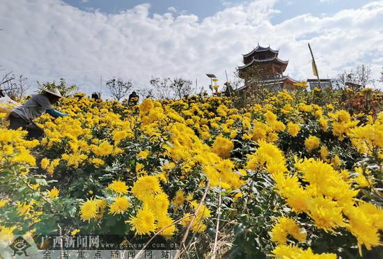 """环江:万亩产业园开出千亩""""致富花"""""""