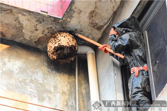 广西桂林:一公司办公楼同时惊现两只巨形马蜂窝