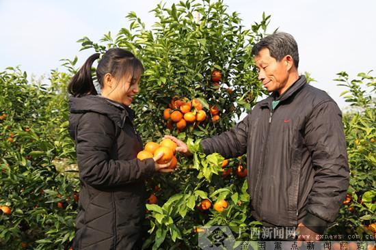 灵山县:沃柑映红村民脱贫路(图)