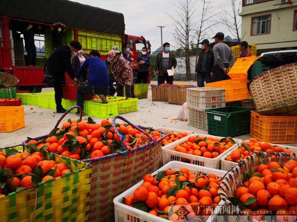 雁山区草坪乡退伍军人退役不退志 帮助农户推动水果销售