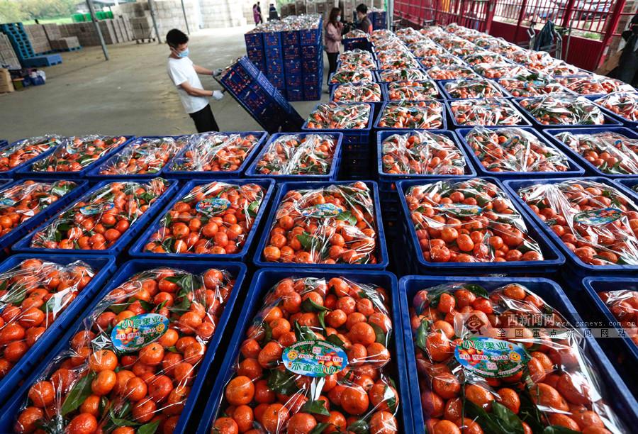 广西柳城:破解水果销售难题