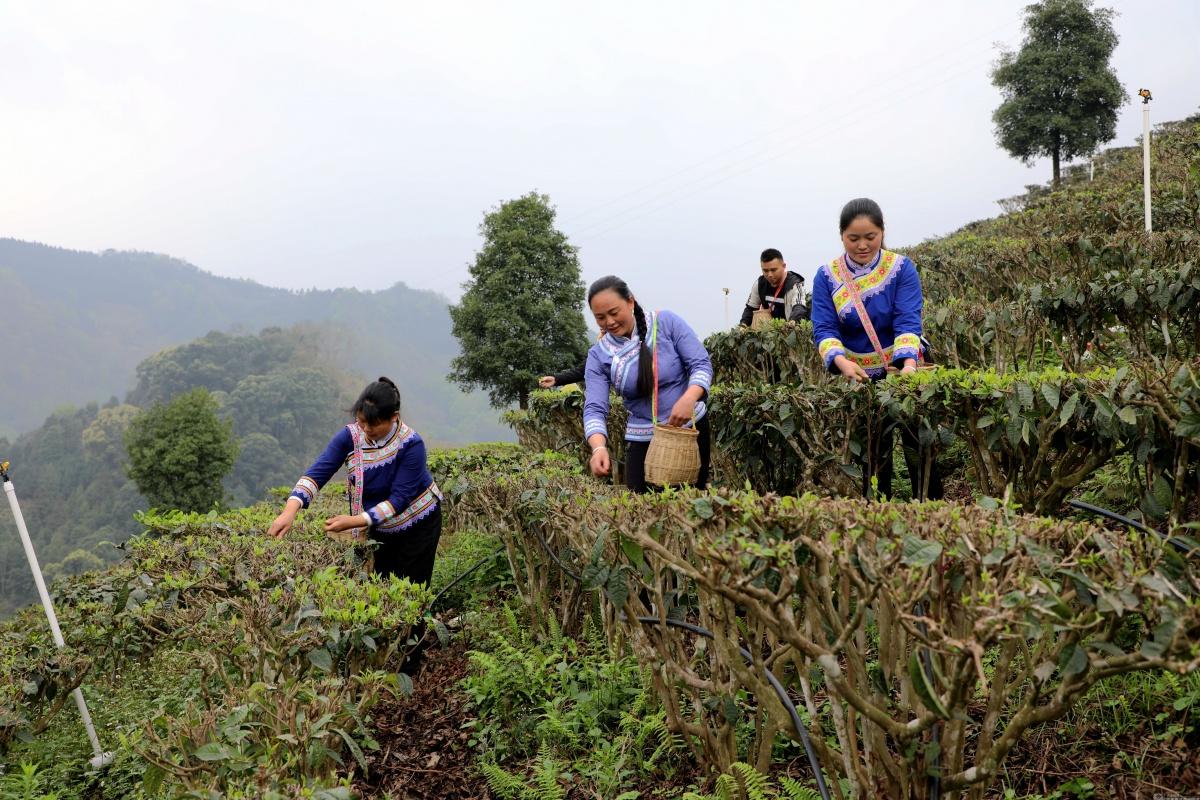 凌云白毫飘香 茶产业发展助力脱贫攻坚
