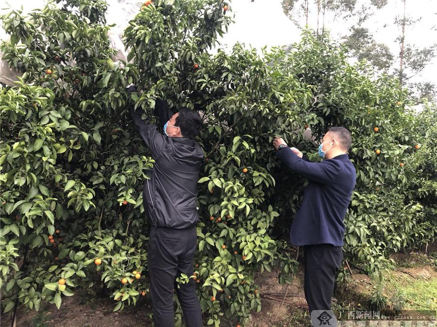 太平洋產險桂林中心支公司開展扶貧助農采購砂糖橘愛心活動