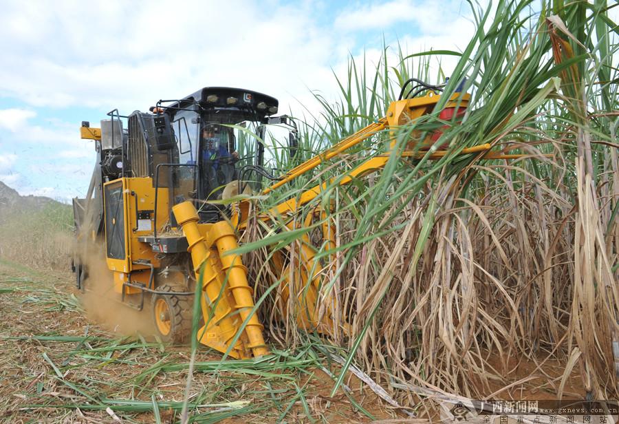 一台顶数十人 柳工甘蔗收获机开足马力抢榨季
