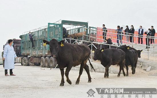 宜州力天万头肉牛场引进首批澳洲牛