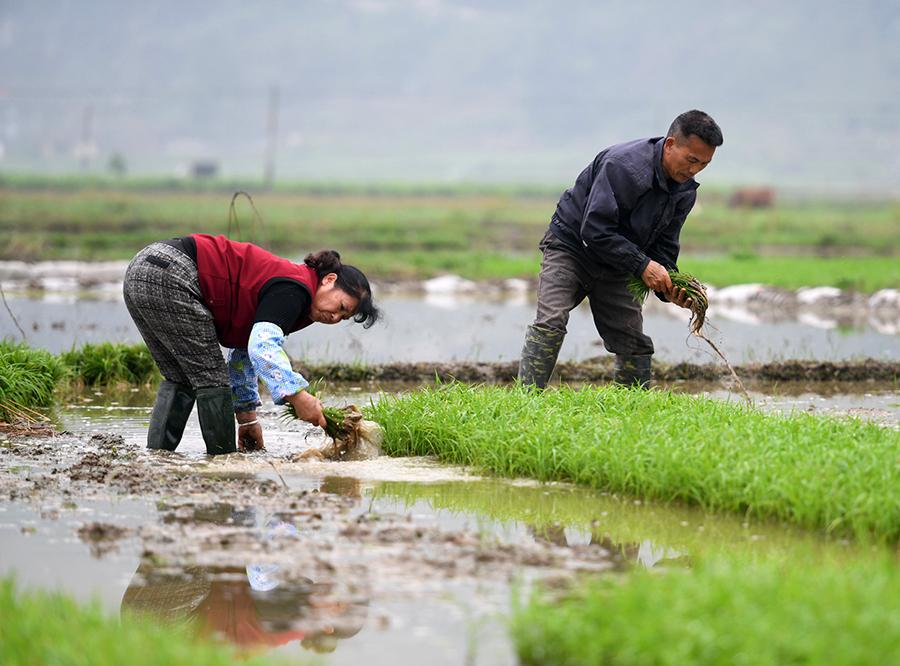 河池罗城:谷雨节气农事忙(组图)