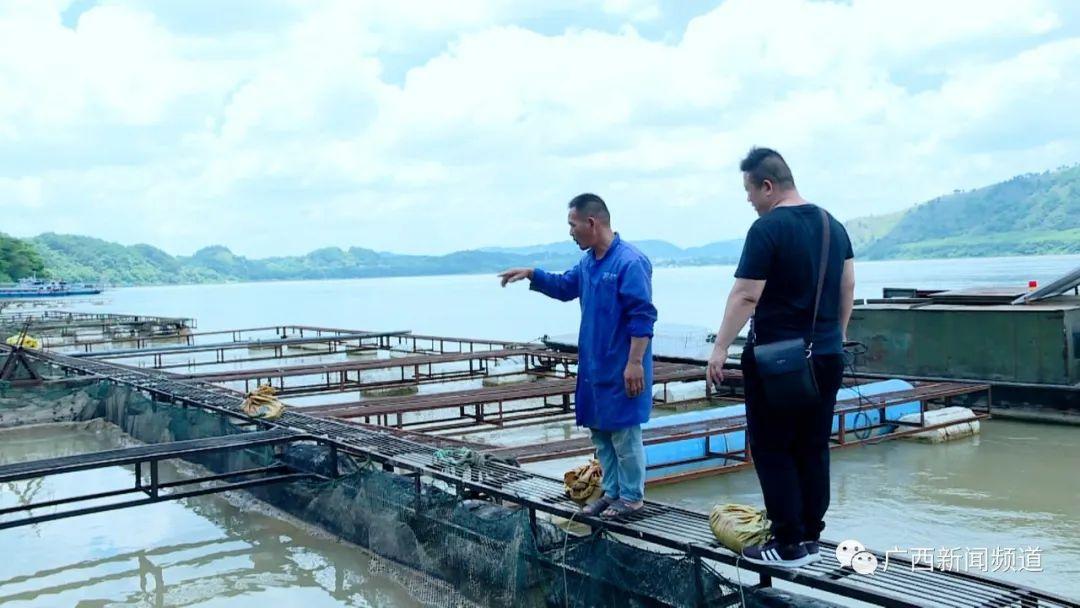梧州浔江上百里水域网箱鱼大面积