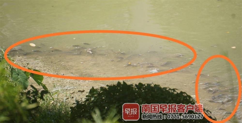 """天气多变,南宁竹排江的鱼儿成群结队到水面""""开会"""""""