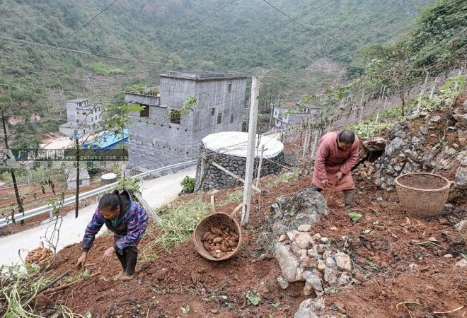 大化板升:种植高山白玉薯 拓宽群众致富路