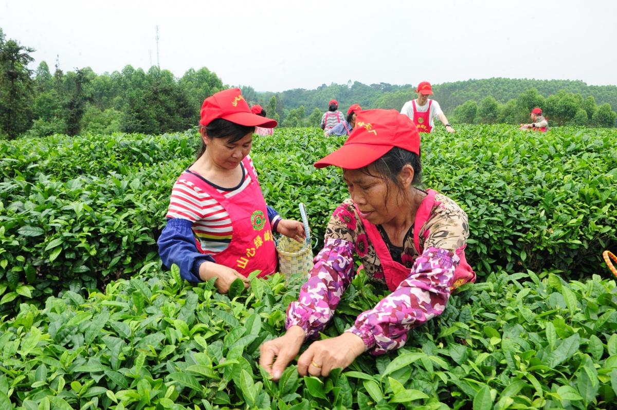 春茶飘香 部分春茶抢鲜上市