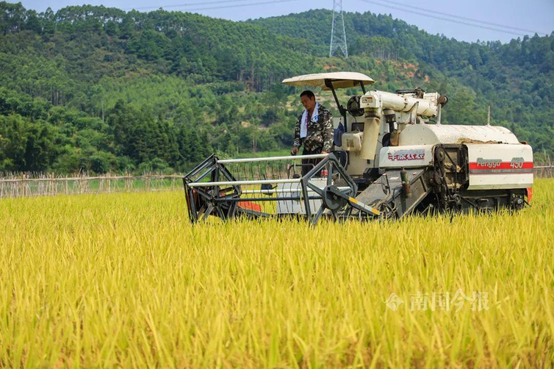 柳州螺蛳稻收割了,这样的稻田太靓了