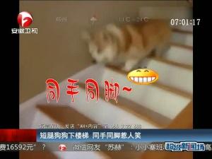 短腿狗狗下楼梯 同手同脚惹人笑