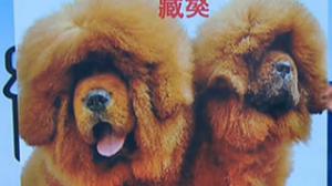 100万元买藏獒竟是松狮伪装