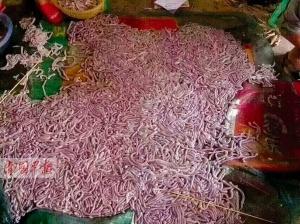 码头施工沙虫大量涌现 上千村民海滩捡拾沙虫(图)