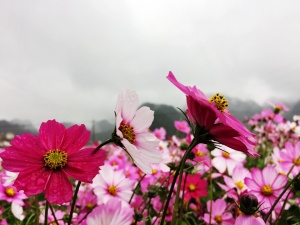[百色行]曼贝侬小西湖:格桑花绽放中的烟雨江南