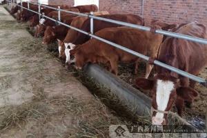 人保财险签发首单政策性肉牛养殖保险