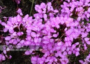 色彩斑斓 隆林花米饭飘香(图)
