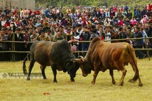 西林县那佐苗族乡上演春节传统斗牛比赛