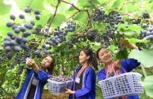 三江:千亩葡萄迎收获季(图)