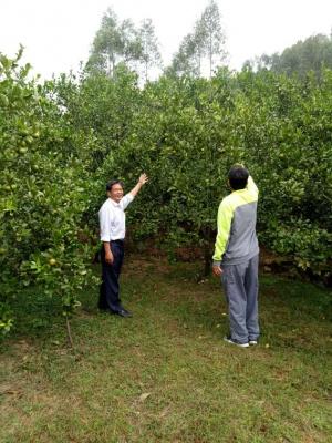 平南六桂村大力发展柑桔产业取得良好成效