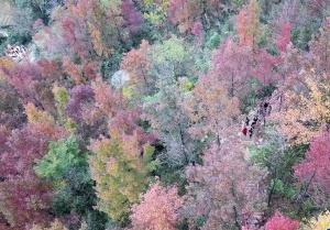 南国红枫正迷人