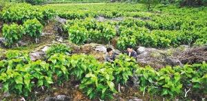 [领航新征程]重庆黔江:岩隔涝也长金子了